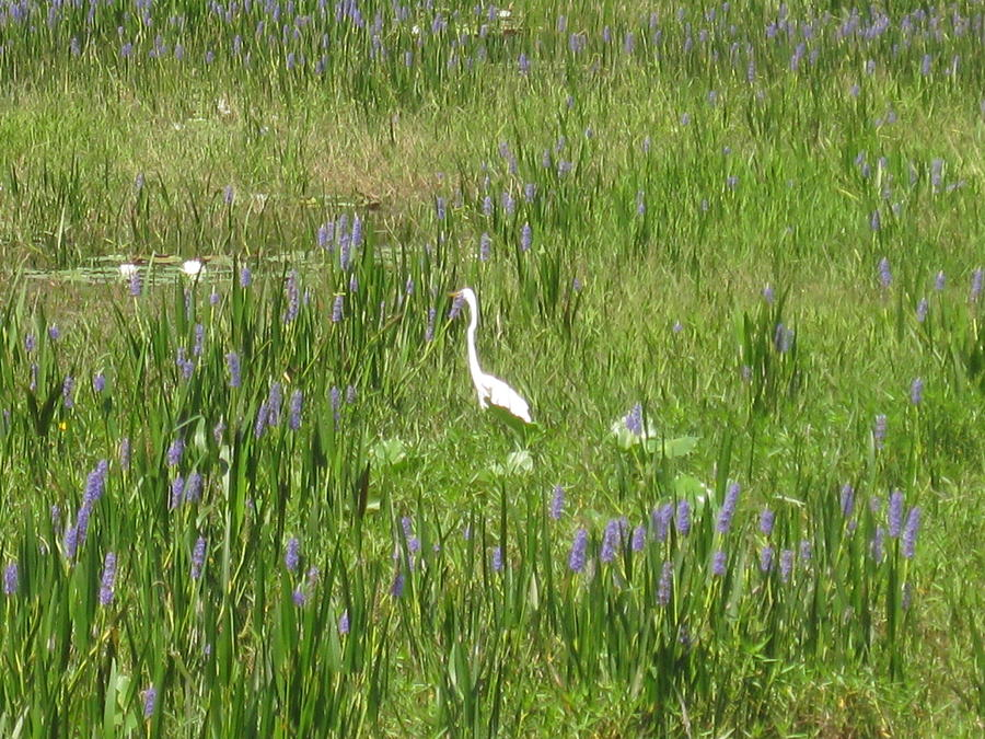 Egret Photograph - Egret on the Lake by Barbara Von Pagel