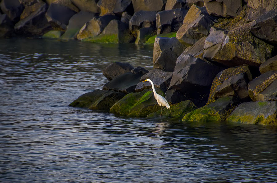 Egret Photograph - Egret On The Rocks by Bill Cannon