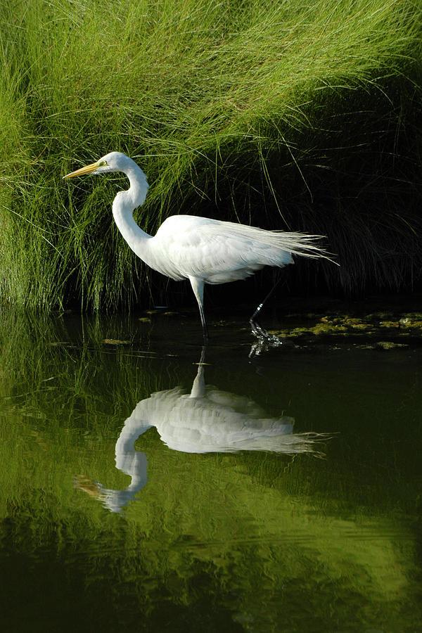 Great Egret Photograph - Egret Reflections by Lara Ellis