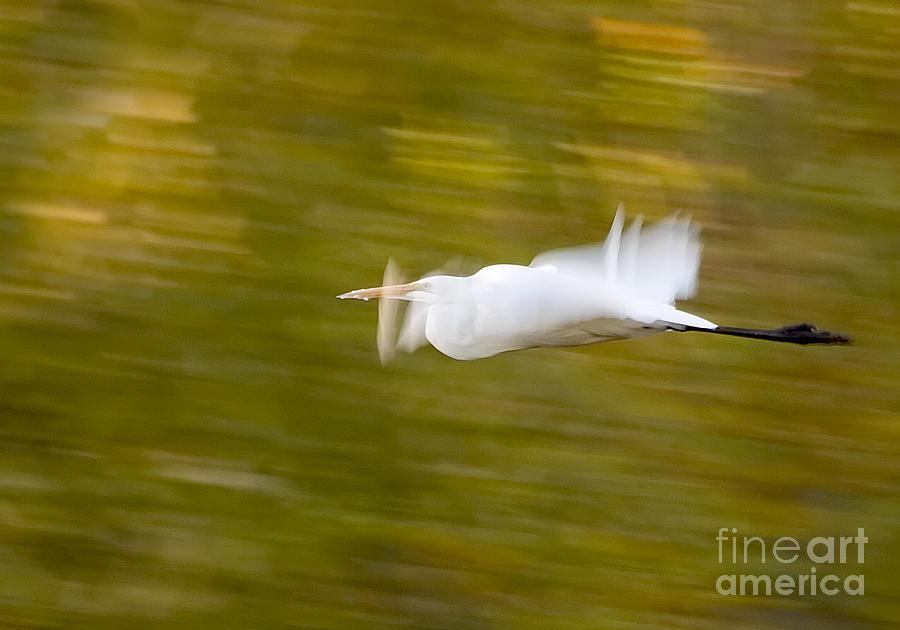 Birds Photograph - Egret by Steven Ralser