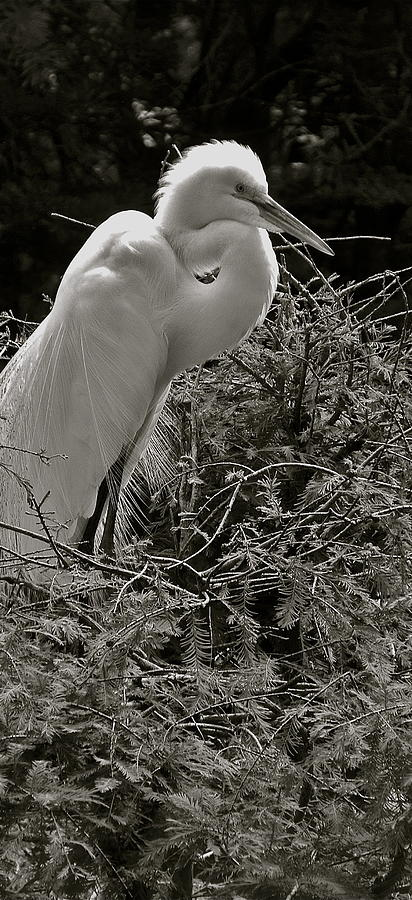 Egret up close by Phyllis Dunn