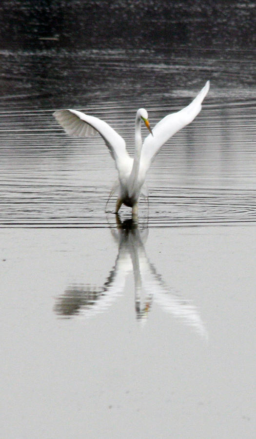 Egret Photograph - Egret by Valerie Wolf