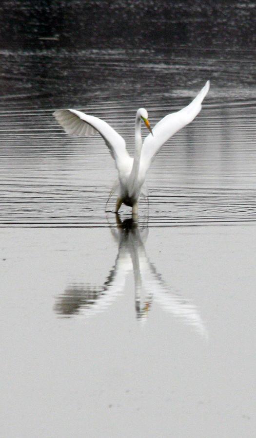 Egret Photograph - Egret by Valerie Wolf