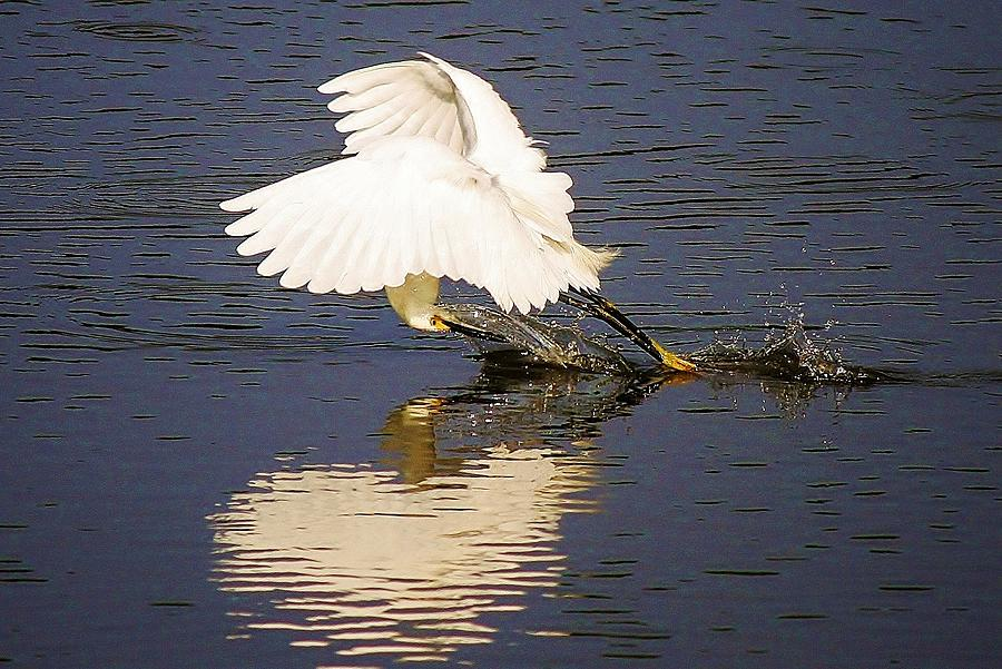 Snowy  - Egret With A Heart Reflection by Paulette Thomas