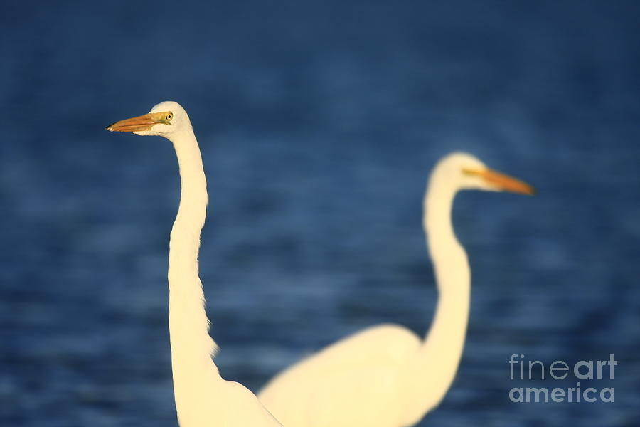 GREAT EGRET IMPRESSIONS by John F Tsumas