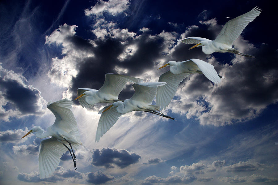 Roy Williams Photograph - Egrets In Succession by Roy Williams