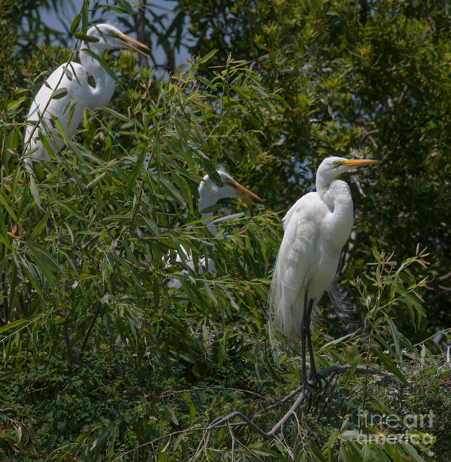 Egrets In Tree Photograph