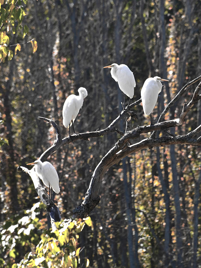 Birds Photograph - Egrets by Valerie Wolf