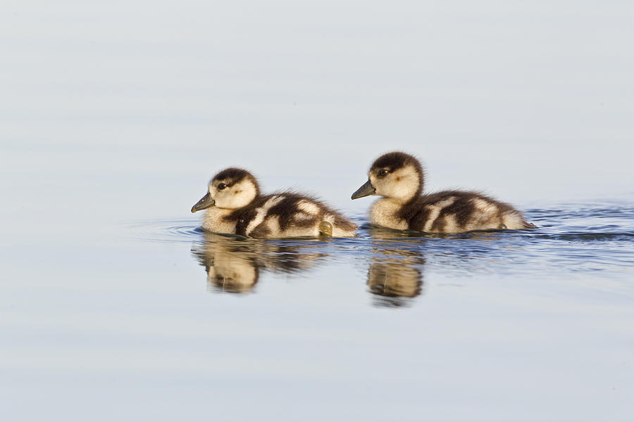 Egyptian Goose Goslings River Thames Photograph by Dickie Duckett
