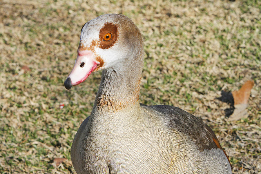 Egyptian Goose Photograph - Egyptian Goose  by Shoal Hollingsworth
