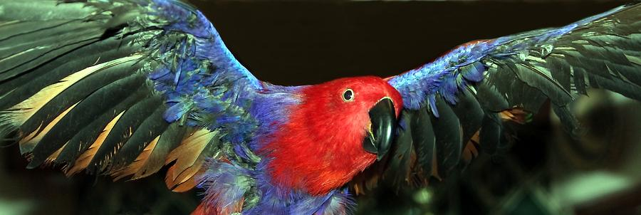 Eclectus Photograph - Electric Eclectus by Andrea Lazar