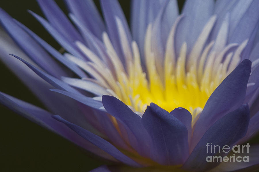 Water Lily Photograph - Electric Glow by Lauren Brice