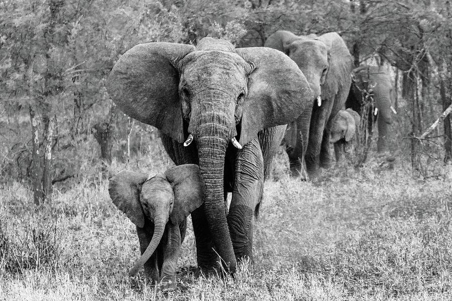 Elephant Photograph - Elefamily by Bertram Schemel