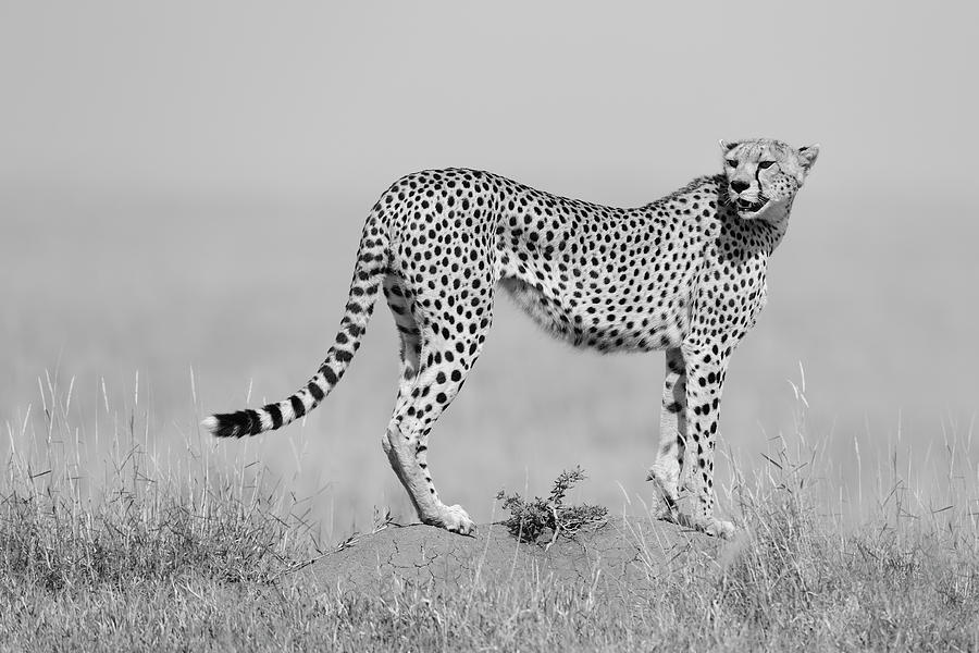 Cheetah Photograph - Elegance In B&w by Marco Pozzi