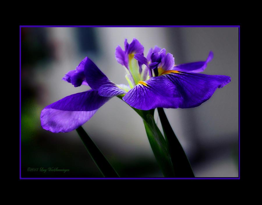 Iris Photograph - Elegant Iris with Black Border by Lucy VanSwearingen