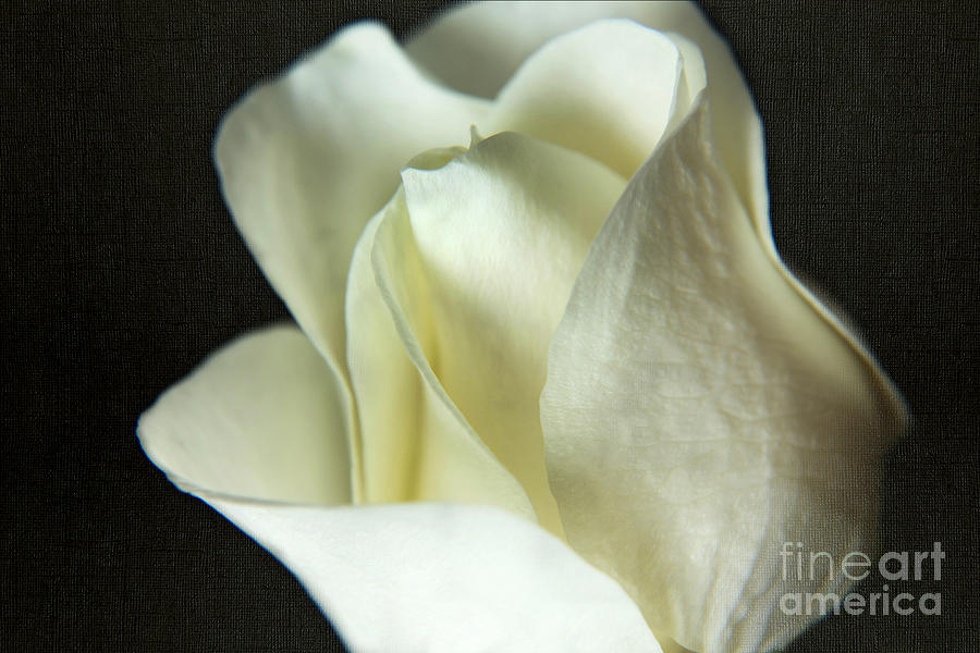 Elegant White Rose Textured by Eden Baed