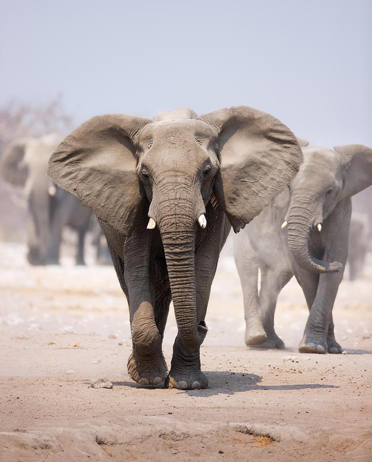 Elephant Bathing Photograph