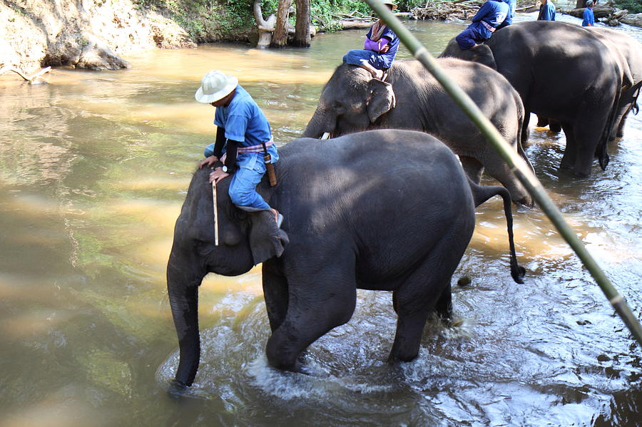 Chiang Photograph - Elephant Baths - Maesa Elephant Camp - Chiang Mai Thailand - 01131 by DC Photographer
