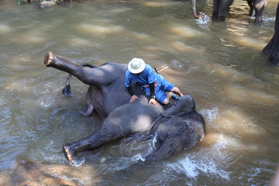 Chiang Photograph - Elephant Baths - Maesa Elephant Camp - Chiang Mai Thailand - 011310 by DC Photographer