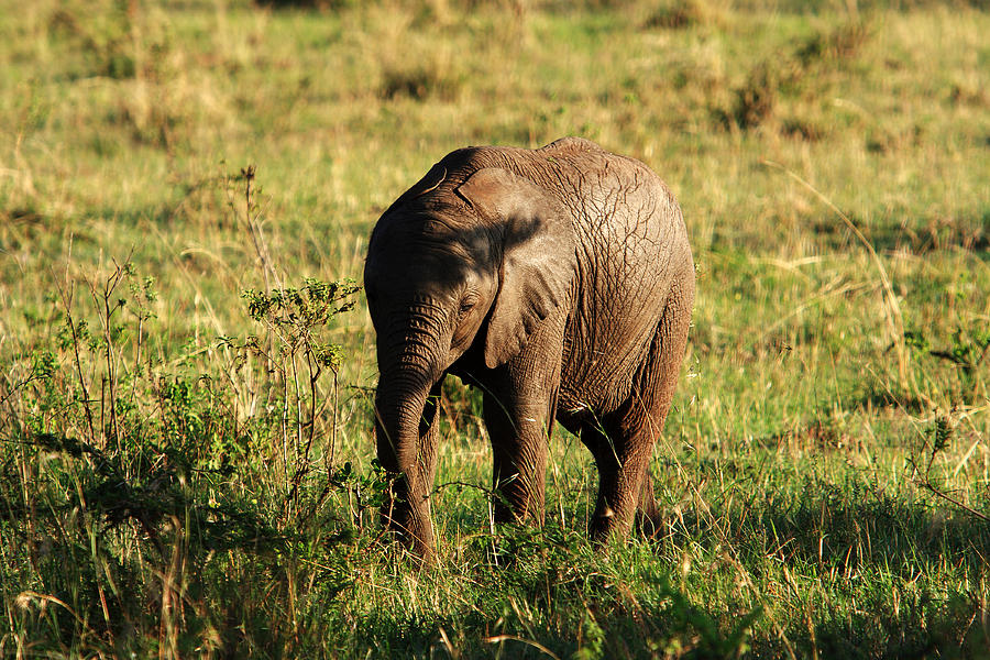 Elephant Photograph - Elephant Calf by Aidan Moran