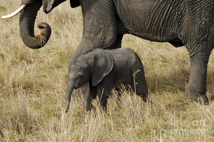 Elephant child by Sue Jarrett