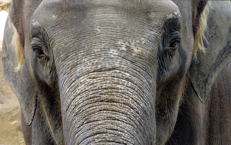 Elephant Photograph - Elephant Close Up 1 by Tom Conway