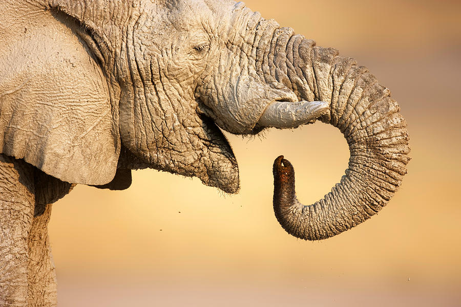 Elephant Drinking Photograph by Johan Swanepoel