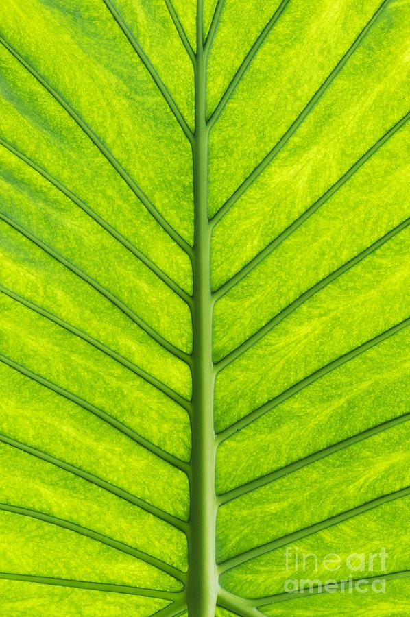 Alocasia Macrorrhiza Photograph - Elephant Ear Taro Leaf Pattern by Tim Gainey