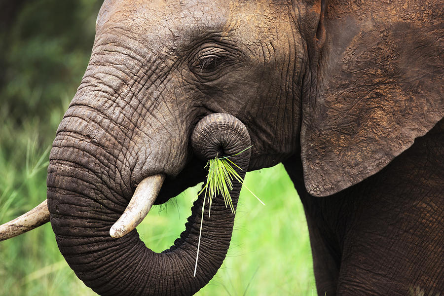 Green Photograph - Elephant eating close-up by Johan Swanepoel