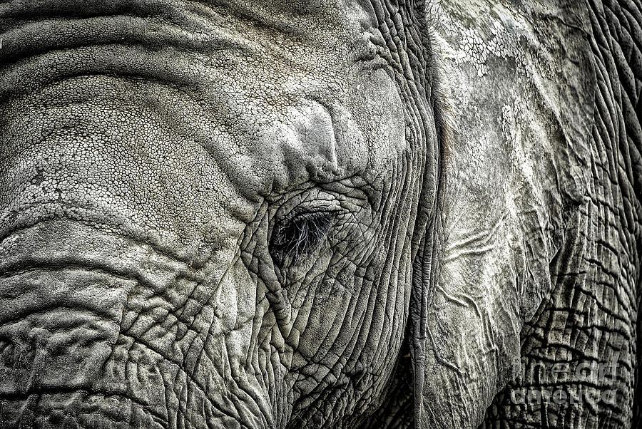 Elephant Photograph - Elephant by Elena Elisseeva