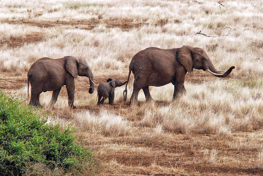 Wildlife Photograph - Elephant Family, Tanzania by Izonevision/robert D Abramson