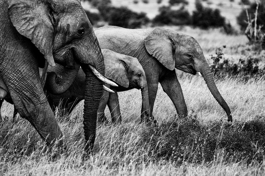 Elephant Photograph - Elephant Family by Vedran Vidak