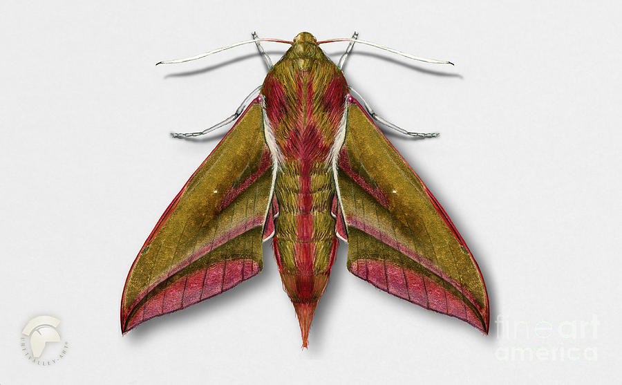 Elephant Hawk Moth Butterfly - Deilephila Elpenor Naturalistic Painting - Nettersheim Eifel Painting