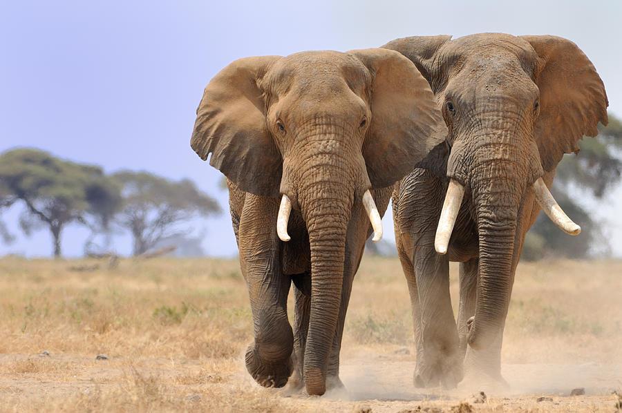 Elephant In Amboseli Park, Kenya Photograph by Alex Dissanayake