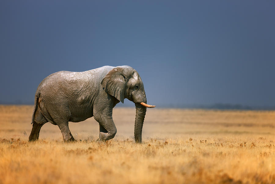 Elephant In Grassfield Photograph