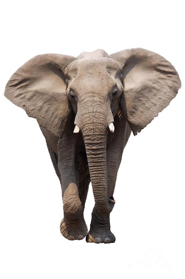 Wild Photograph - Elephant Isolated by Johan Swanepoel