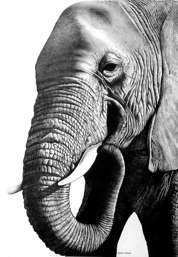 Elephant Drawing by Jerry Winick