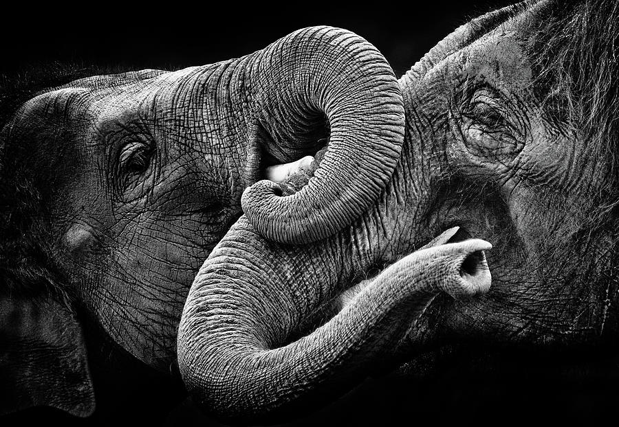 Elephant Kiss Photograph by Courtesy Of