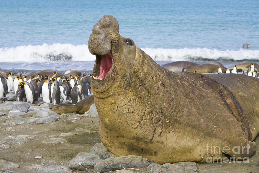 Elephant Seal Roaring Photograph by Yva Momatiuk John Eastcott