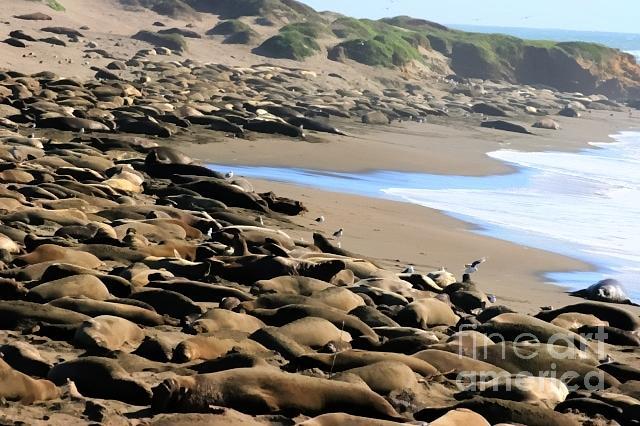 elephant seals san simeon ca photograph by tap on photo