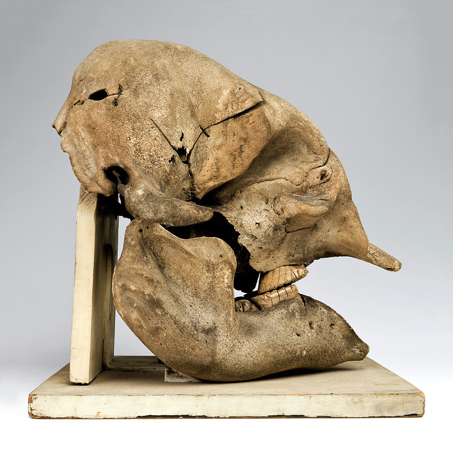 Elephant Skull Photograph by Ucl, Grant Museum Of Zoology