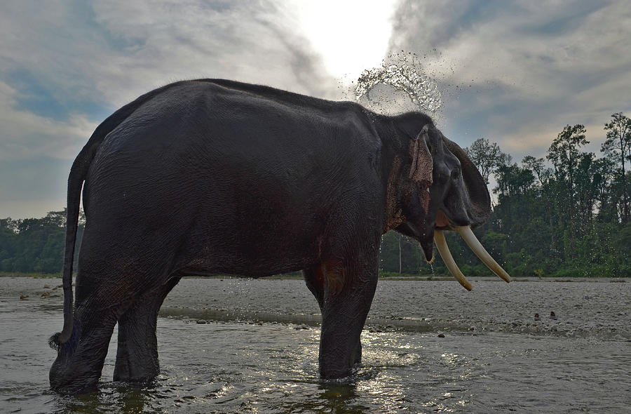 Elephant Taking A Shower On Its Own Photograph by Photograph By Anindya Sankar Dey