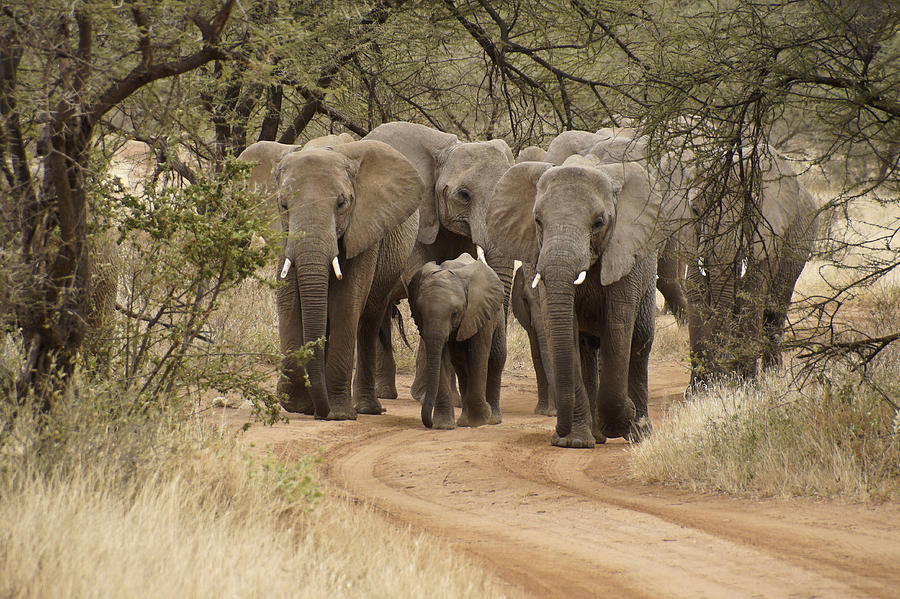 Africa Photograph - Elephants Have the Right of Way by Michele Burgess