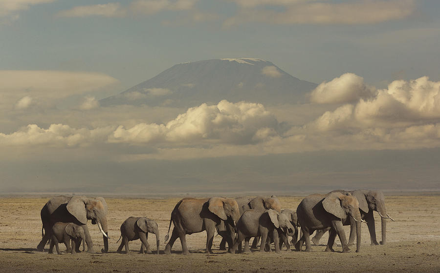 Elephants in the savannah. Photograph by Buena Vista Images