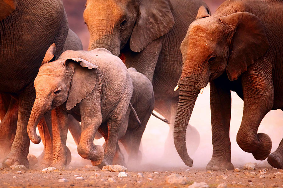 Elephants Stampede Photograph
