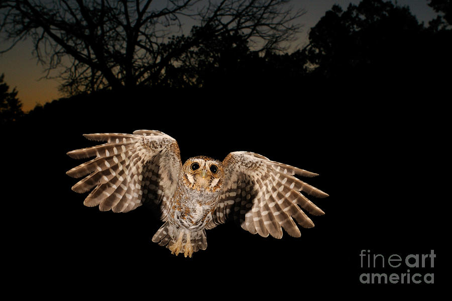 Animal Photograph - Elf Owl by Scott Linstead