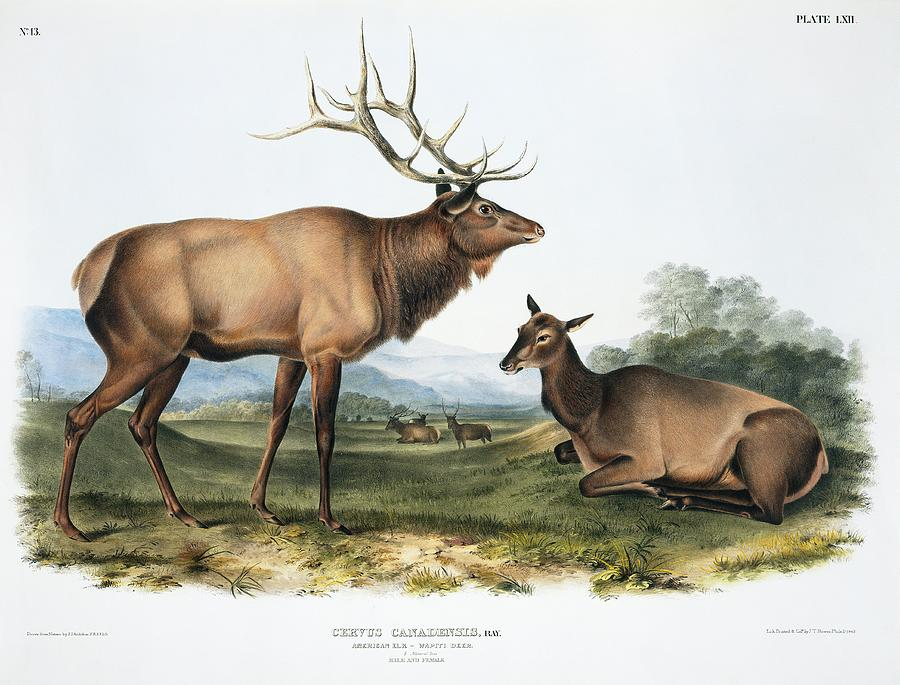 1800s Photograph - Elk, 19th Century Artwork by Science Photo Library
