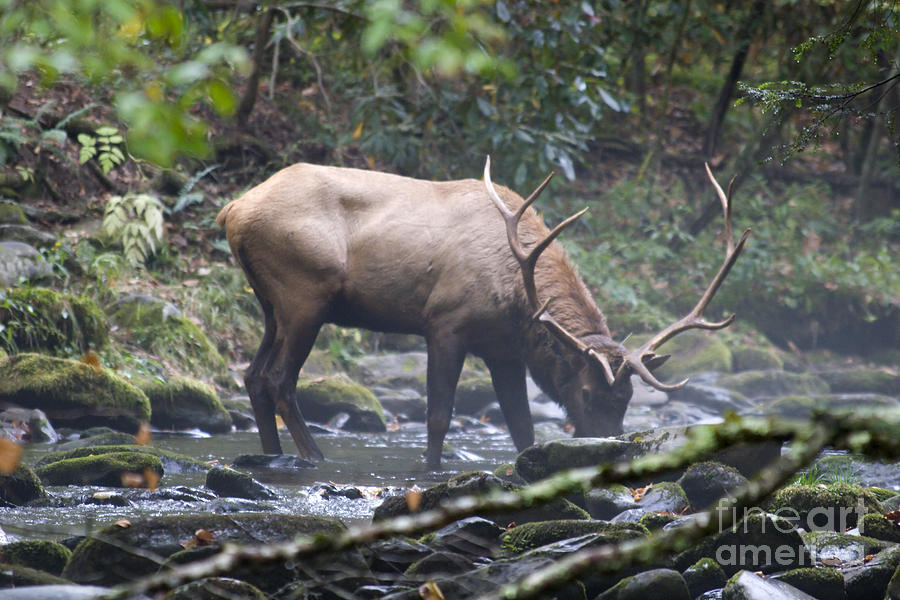 Elk Photograph - Elk Drinking Water From A Stream by Jill Lang