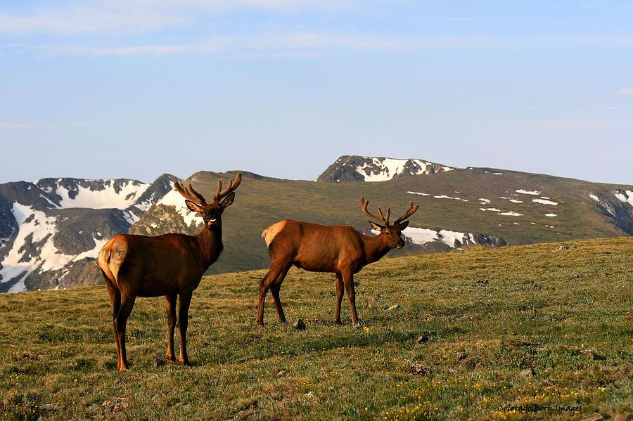 Elk Photograph - Elk Feeding by Rebecca Adams