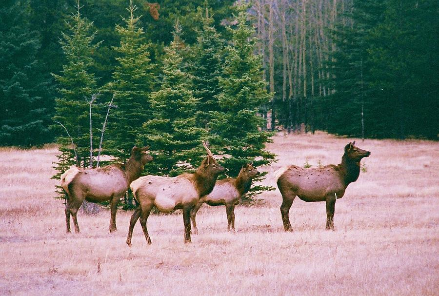 Animals Photograph - Elk In Canada by Richard Jenkins